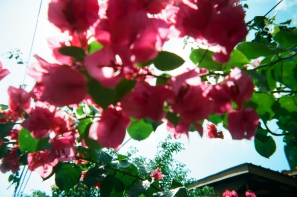 Pink flowers in Placencia, Belize, on March 9, 2013